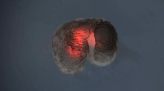 """Cientistas criam primeiro """"robô vivo"""" feito inteiramente de células vivas"""